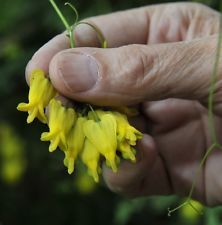 how to get seeds from bleeding heart