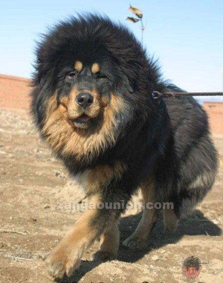 Tibetan Mastiff...OMG I want him!