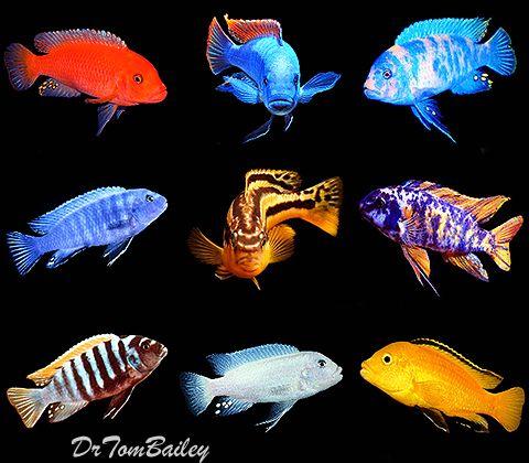 Mbuna cichlids featured item mbuna cichlid fish for Cichlid fish for sale
