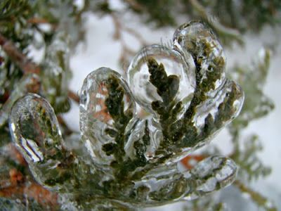 Ice covered cedar.