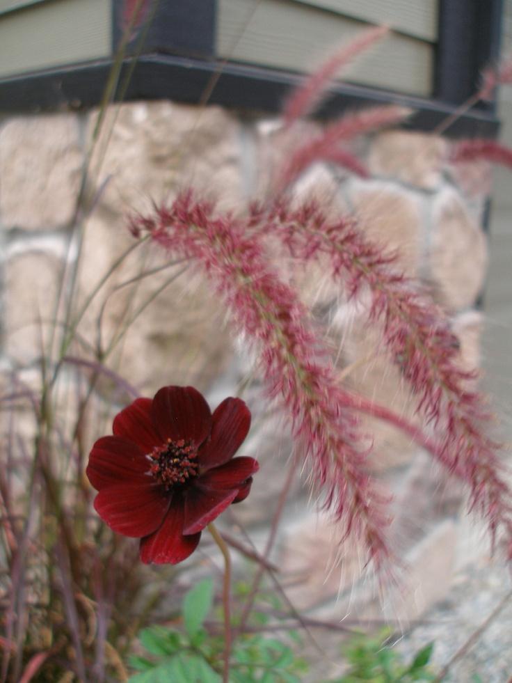 Pennisetum 'Rubrum' & Cosmos atrosanguineus