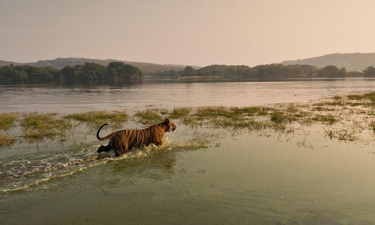 A tiger wades into the waters of Raj Bagh lake in Ranthambhore tiger in Rajasthan, India. Conservationists warn 'tiger corridors' connecting habitats across Asia are crucial for the survival of the species