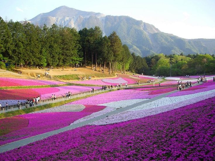 Moss pink in Hitsujiyama Park close to the city of Chichibu, in Saitama Prefecture.