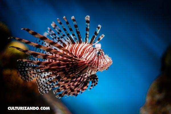 Este pequeño pez puede parecer muy hermoso a primera vista, pero la verdad es que es sumamente venenoso. Por...