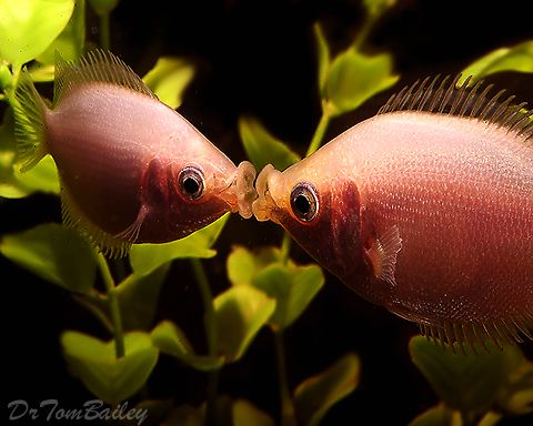 Image result for images of kissing gourami under blossoms