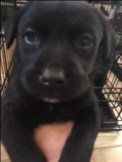 Golden Labrador dog for Adoption in Glendale , AZ. ADN-532875 on PuppyFinder.com Gender: Male. Age: Baby