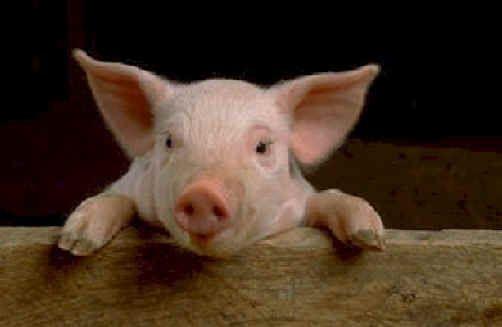 A pig..