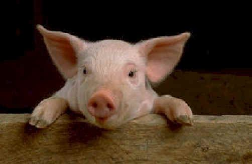 .: Vegan, Animal Rights, It S, Adorable Animals, Pet, Pigs, Bacon, Piggy, Photo