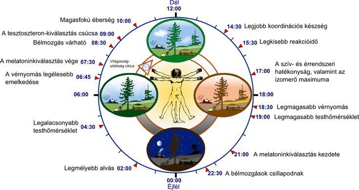Biological_clock_human_hu