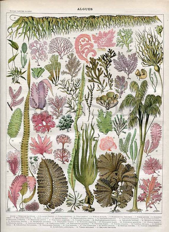 Seaweed Algae Kelp Ocean Plants French 1898-1904 Antique Print Nouveau Larousse $15