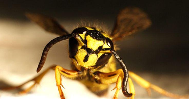 Como remover um ninho de vespas amarelas do chão. A única maneira de remover um ninho de vespas amarelas do chão é acabar com as vespas que estão dentro do ninho. Há muitas maneiras de mata-las. Alguns dos métodos requer o uso de produtos químicos que podem prejudicar o solo ou sprays de aerossol que podem prejudicar a atmosfera. Em vez de usar esses métodos, você pode usar água fervendo com ...
