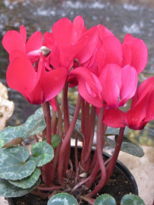Цикламен (Cyclamen) — невероятно красивое растение, завоевавшее большую популярность в обществе цветоводов. В пору цветения его цветки похожи на «языки застывшего яркого пламени» или на диковинных бабочек, парящих в воздухе. Известно много видов и сортов растения, которые различаются высотой (от 15 до 35 см), характером пепельно-серебристых пятен на темно- или светло зеленых листьях, а также окрасом цветков и махровостью.