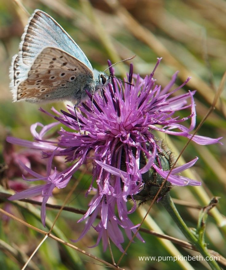 A male Chalk Hill Blue Butterfly, Polyommatus coridon, feeding on Centaurea scabiosa, also known as Greater Knapweed, at Pewley Down Nature Reserve in Guildford.
