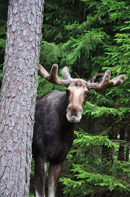 ... and you see the moose (what a moose, what a moose ...)