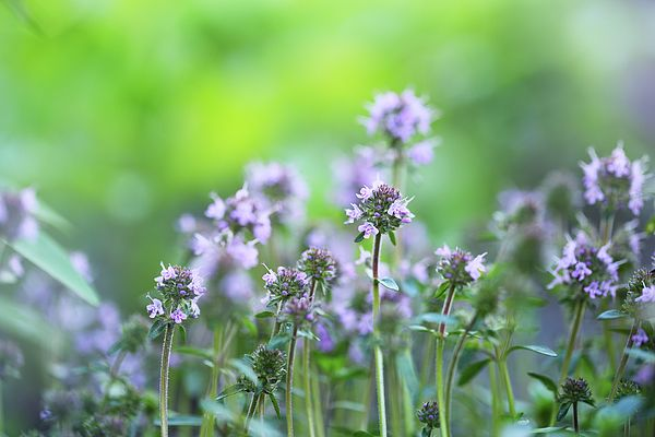 Thyme Photograph by Iuliia Malivanchuk #IuliiaMalivanchuk #IuliiaMalivanchukFineArtPhotography #ArtForHome #FineArtPrints #HomeDecor #ArtWorks #InteriorDesign #Thyme #flower