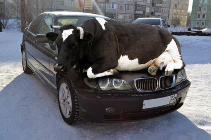 En época de frío el calor de los autos atrae a los animales; antes de poner en marcha tu vehículo revisa las ruedas y otros escondites