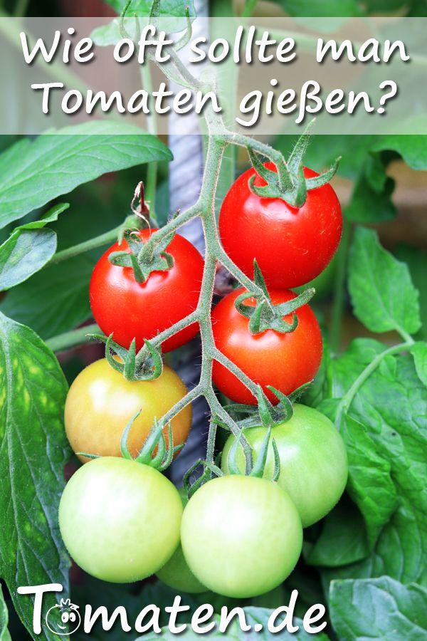Wie Oft Sollte Man Tomaten Giessen Tomaten Garten Tomaten Pflanzen Garten Ideen Gemuse