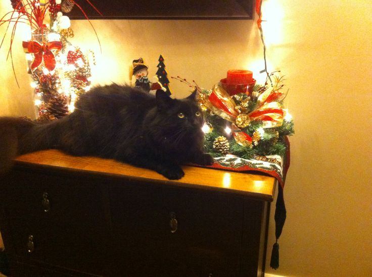 Part of our Xmas decor, this one likes to get in on the finishing touches.