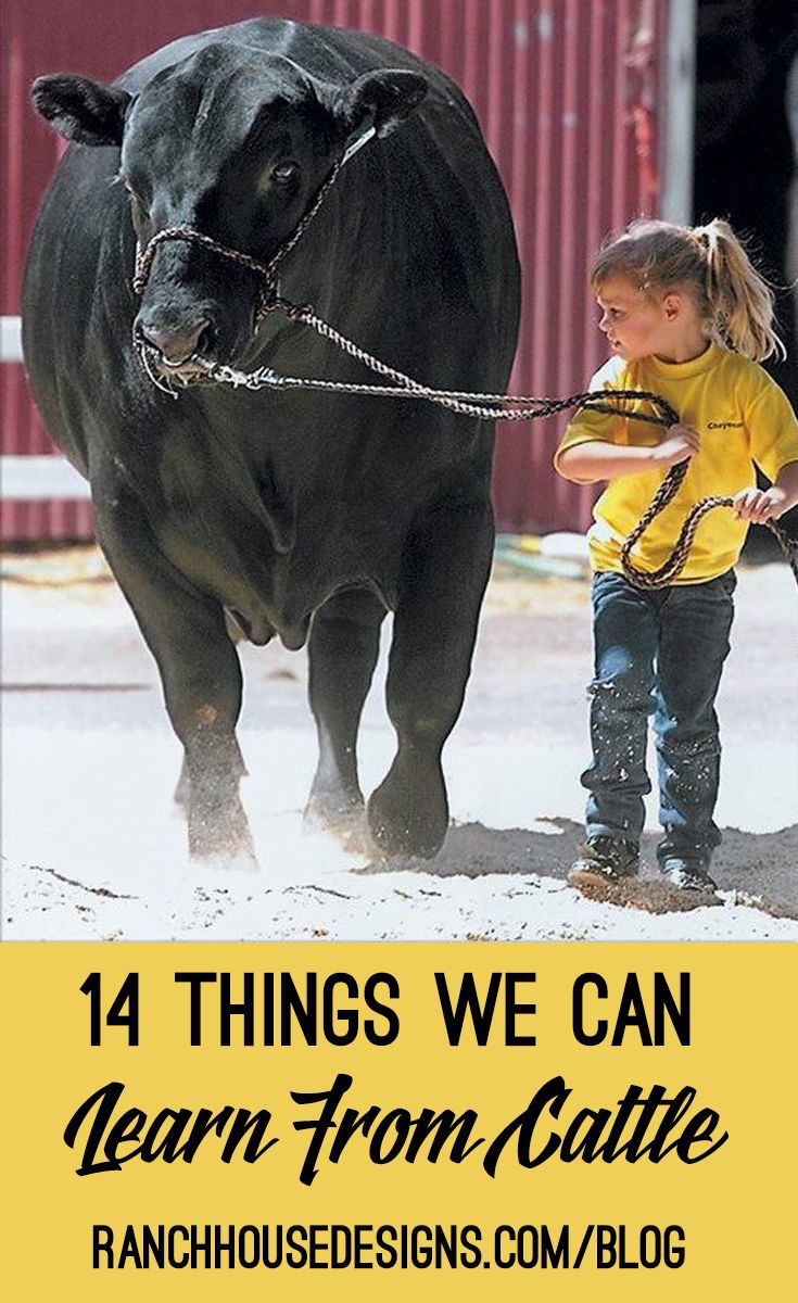14 Things We Can Learn From Cattle - Blog By Ranch House Designs