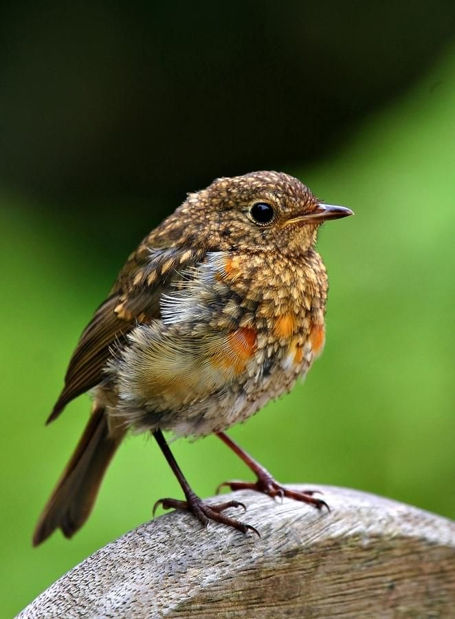 Baby Robin - American robin (Turdus migratorius) The chicks are fed worms, insects, and berries. Waste accumulation does not occur in the nest because adults collect and take it away.