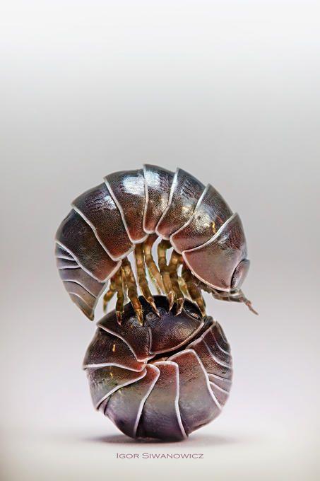 Crustacea - Classe Malacostraca, Subclasse Eumalacostraca (Ordem Isopoda)