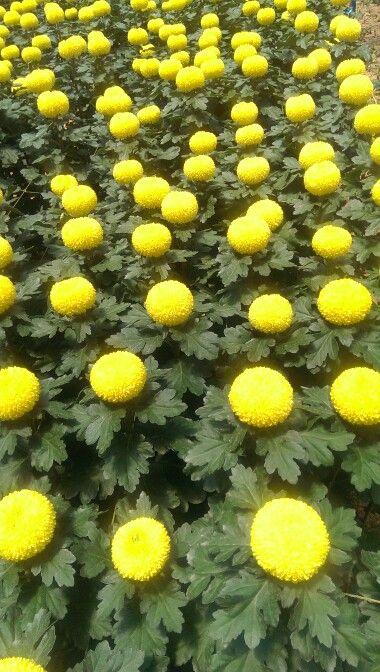 Disbuds yellow
