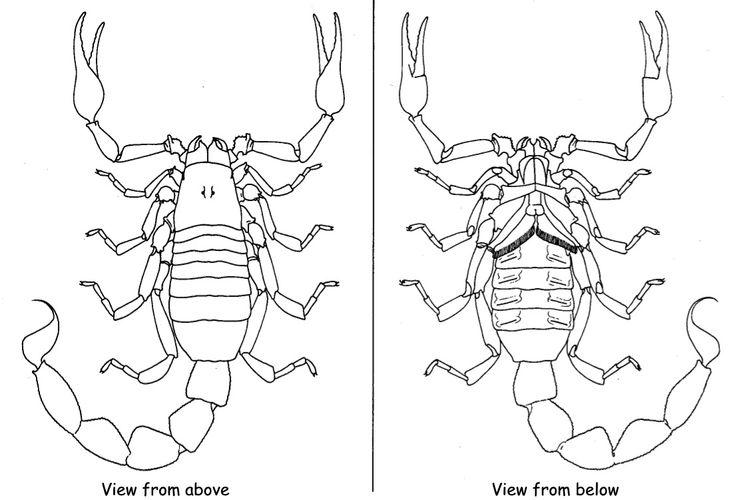 scorpion anatomy for costume