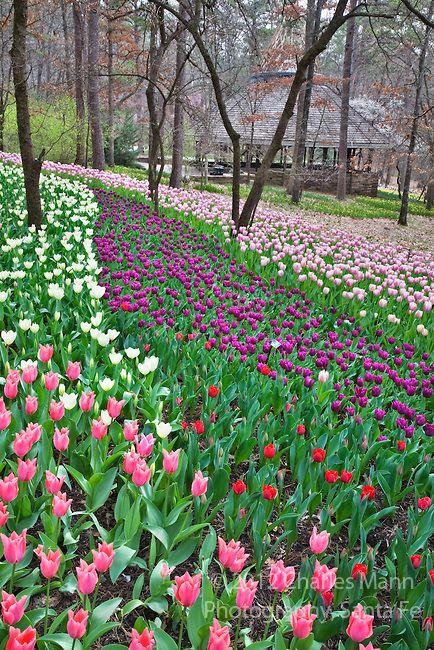 Garvin Gardens in Hot Springs, Arkansas, wird Anfang März mit bunten Tulpen, Narzissen, Hyazinthen und anderen Frühlingsblüher lebendig. Foto von Charles Mann   – ✿💘 Perihan 💘✿