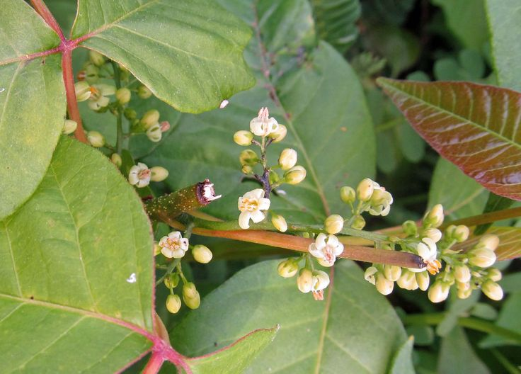 POISON IVY: (Toxicodendron radicans). Photograph of Poison Ivy flowers, taken in Beaver County, PA, June 7, 2012
