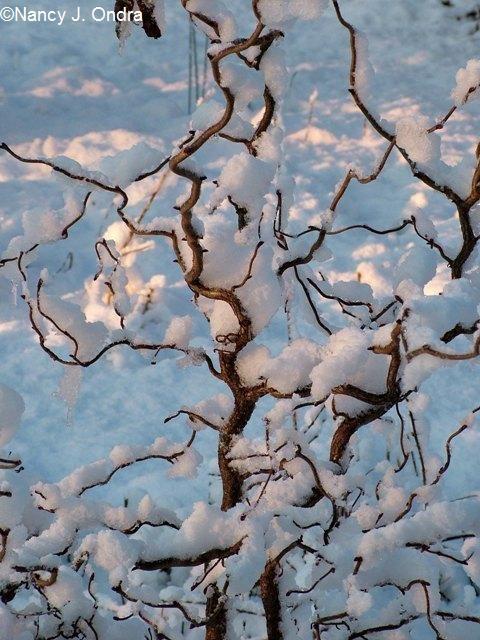 Corylus Red Majestic in snow  / Harry Lauder Walking Stick