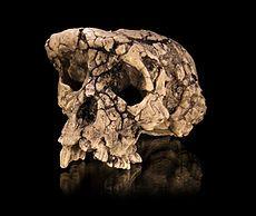 Si avanzamos hasta los últimos restos conocidos de antecedentes al hombre moderno encontramos el Sahelanthropus tchadensis, mejor conocido como Toumaï.