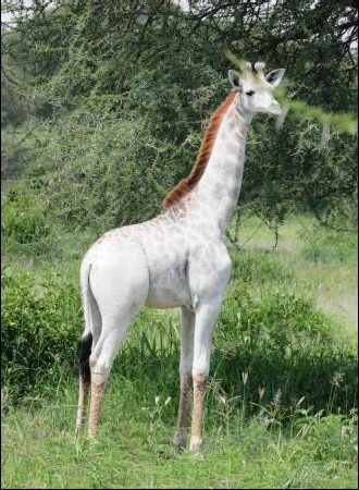 "This rare giraffe was first seen at the Tarangire National Park in Tanzania, and the photos were posted to the <a href=""http://www.wildnatureinstitute.org/blog/leucistic-giraffe-alive-and-well-in-tarangire"" target=""_blank"">Wild Nature Institute</a>'s website. As you can see, she's a stunning animal."