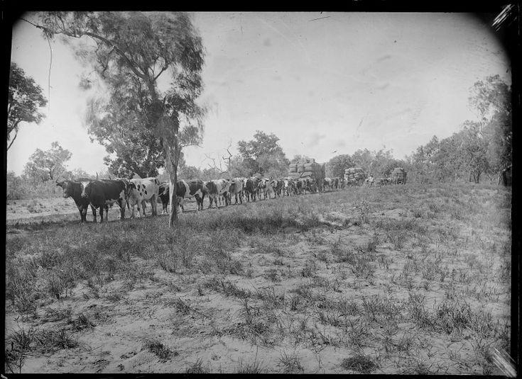 230813PD: Bullock team pulling wool bales across open country, possibly near Derby, ca. 1898. https://encore.slwa.wa.gov.au/iii/encore/record/C__Rb3769089