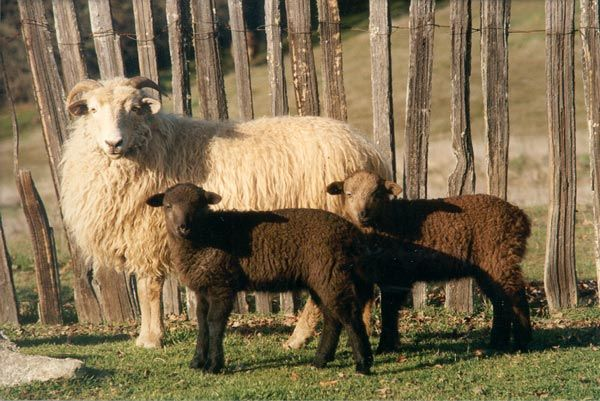 Best Hair Sheep Breed: 107 Best Images About Homestead Sheep
