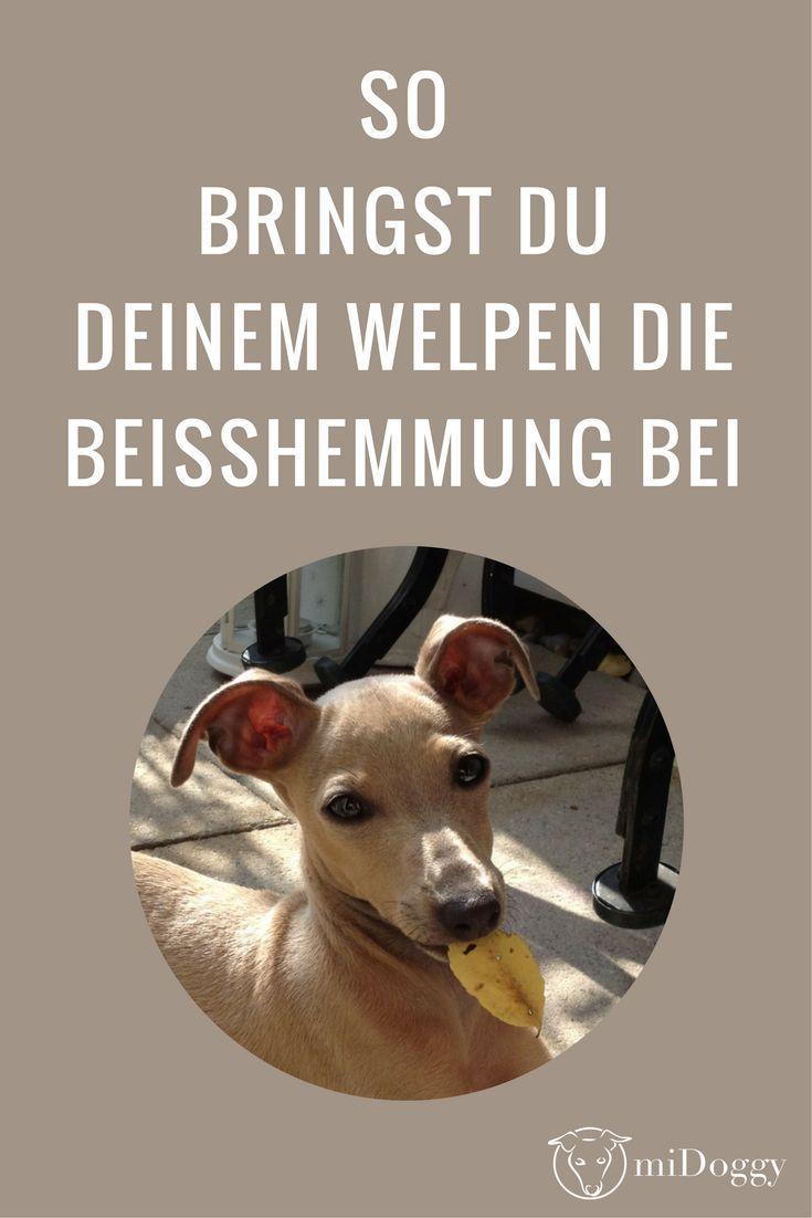 Hilfe Mein Welpe Beisst Midoggy Community Welpen Hundewelpen Hunde Welpen
