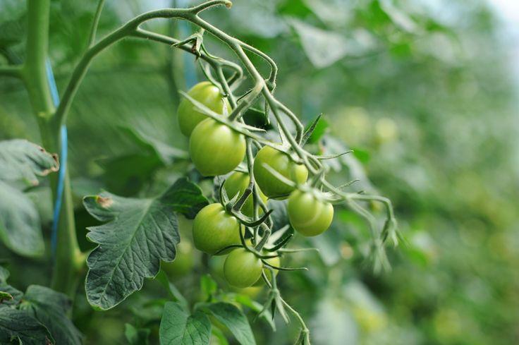 Tomatoes, Nalum Gård