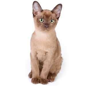 Burmese Kittens For Sale by Best Cat Breeders