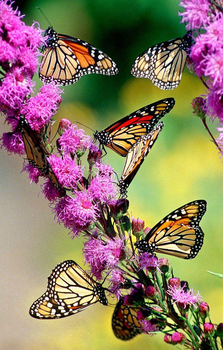Liatris With Monarch Butterflies