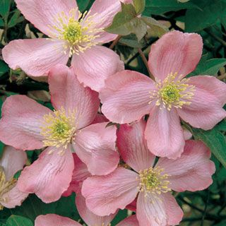 "Clematis 'Odorata' - The best clematis for fragrance lovers. Masses of 2"" rosy-pink flowers give off a rich vanilla scent. Zones 6-9"