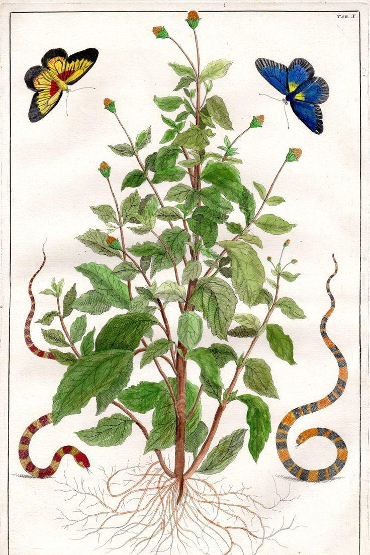 Superieur 1734 ALBERTUS SEBA Butterflies Snakes Cabinet Of Curiosities Plate X