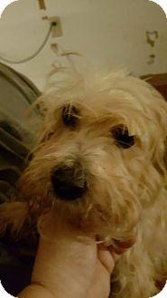 DAYTON, OH - Havanese Mix. Meet Louisa, a dog for adoption. http://www.adoptapet.com/pet/18635084-dayton-ohio-havanese-mix