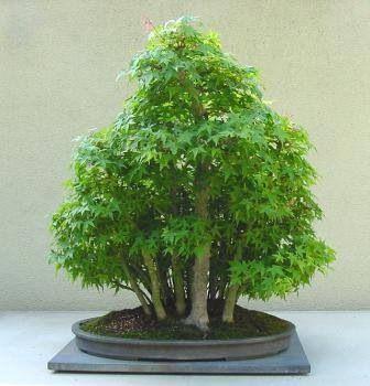 Bonsai sweet little leaves