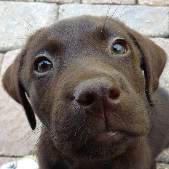 Zu Ehren unseres neuen Welpen Auggie, Schokolade Labor! Eine benutzerdefinierte personalisierte Hund-Leinwand. Gedruckt auf 100 % archival Qualität Fine Art Leinwand. Das perfekte Geschenk für jeden Hunde-Besitzer und ein großes Willkommen Welpe Geschenk macht. Sieht gut aus in der Küche, Waschküche, Keller oder Familienzimmer! DRUCKGRÖßE: Druckbild ist 8 x 10 und auf 8,5 x 11 Leinwand gedruckt Grafik passt am besten in einem 11 x 14-Frame mit einer 8 x 10-Mat-Öffnung BESTELLUNG: ...