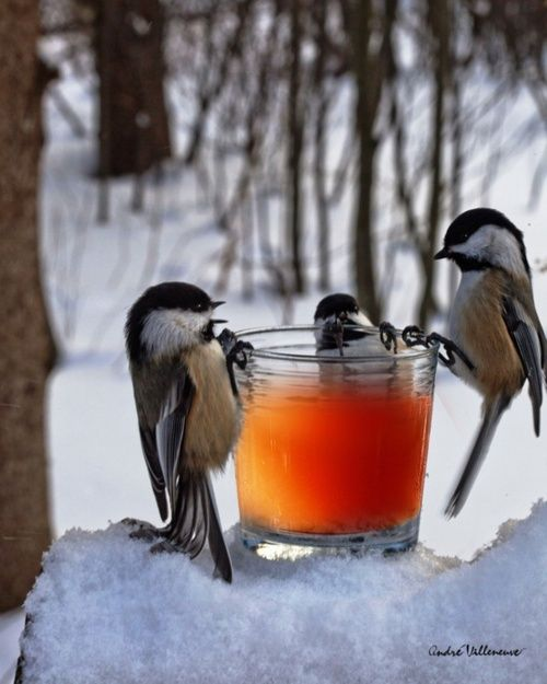Chickadees   what are they drinking?  apple cider?
