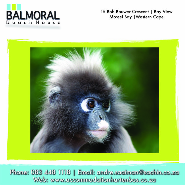 Monkey Land. An activity to do in the Garden Route! Monkeyland opened its doors to the public on the 6th of April 1998. Our unique primate sanctuary is currently the top eco-tourism attraction on the Garden Route and for very sound and sunny reasons. #Monkey #MonkeyLand #GardenRoute