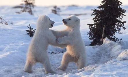 Baby Polar Bear Cubs Play (Video)..this is so adorable!