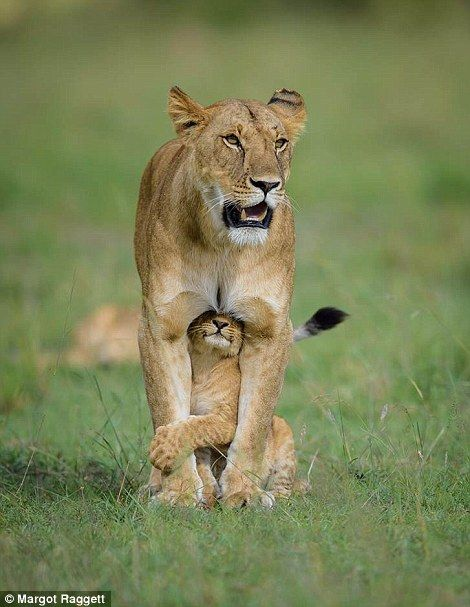 The mother has the young cub where she wants it