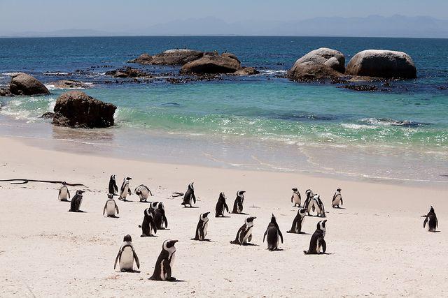 Jackass Penguins, Boulder Beach