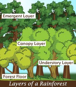Four layers of a rainforest