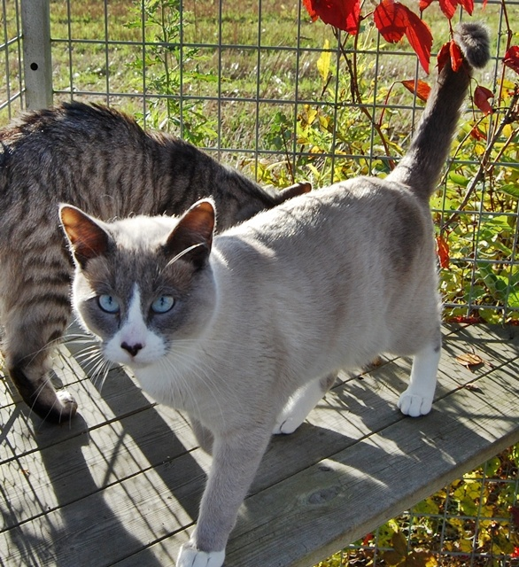 Snowshoe Cat For Sale California